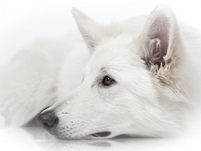 Fotoshoot Witte Herder Novi hondenfotografie