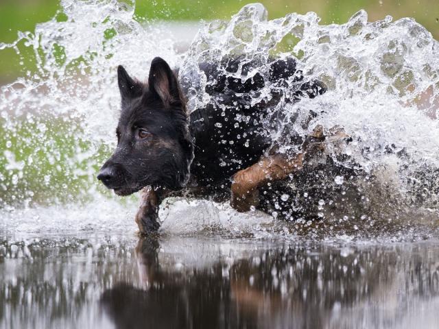 Hondenfotografie : Oud Duitse herder