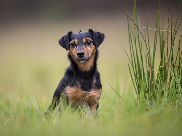 Hondenfotografie : Jack Russell