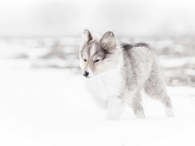 Hondenfotografie: Sheltie pup