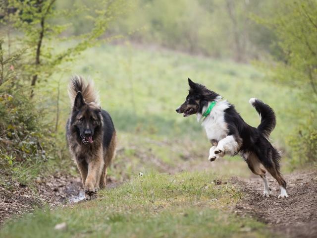 hondenfotografie Duitse herder, Border Collie
