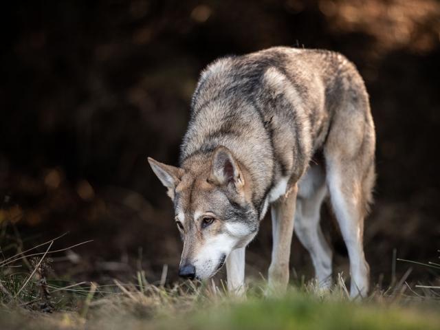 Saarloos wolfhond hondenfotografie