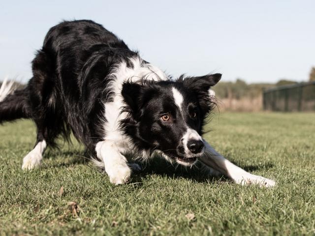 Border collie spelboog hondenfotografie
