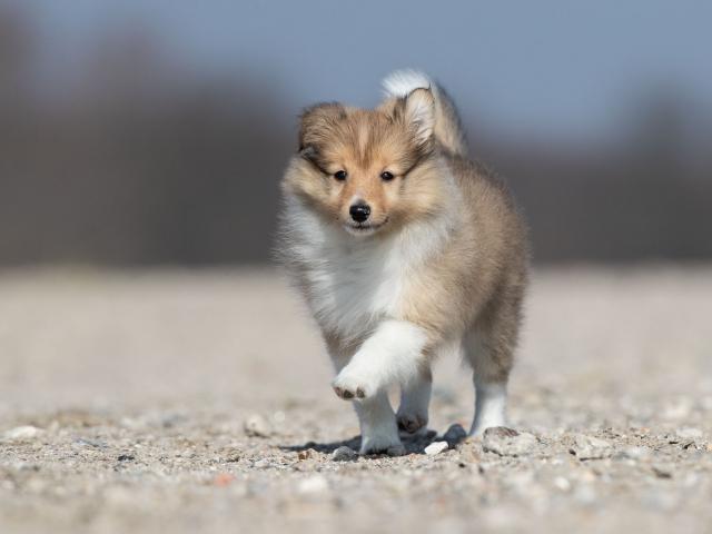 Sheltie pup hondenfotografie